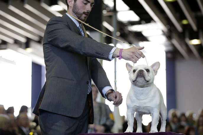 Основной конкурс для породистых собак проводился в два этапа: судьи выбирали лучших из представителей семи групп - подружейные (охотничьи), гончие, пастушьи, служебные, терьеры, комнатно-декоративные и неспортивные. На фото: французский бульдог