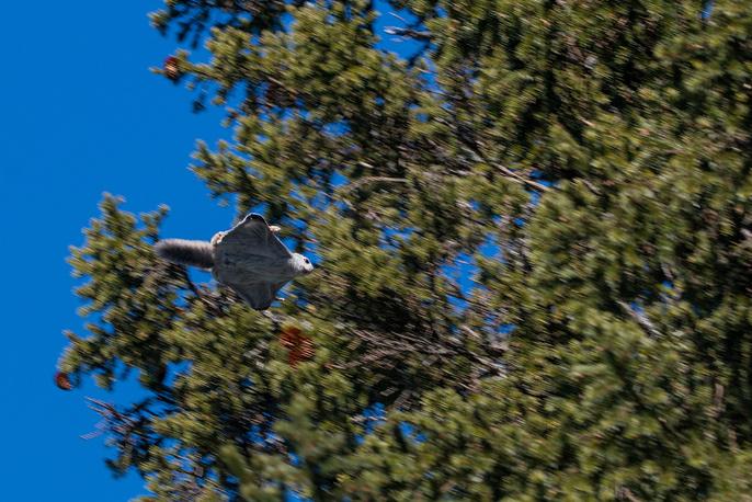 Белка-летяга на горе Иремель