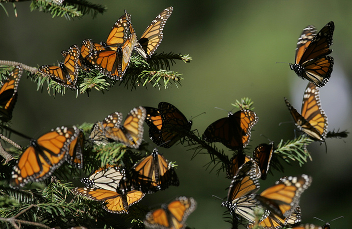 Биосферный заповедник Марипоса-Монарка (бабочки монарха) - природоохранная территория в мексиканском штате Мичоакан и частично в штате Мехико, созданная для сохранения ареала зимовки бабочек этого вида. В период с ноября по март здесь зимуют до миллиарда особей