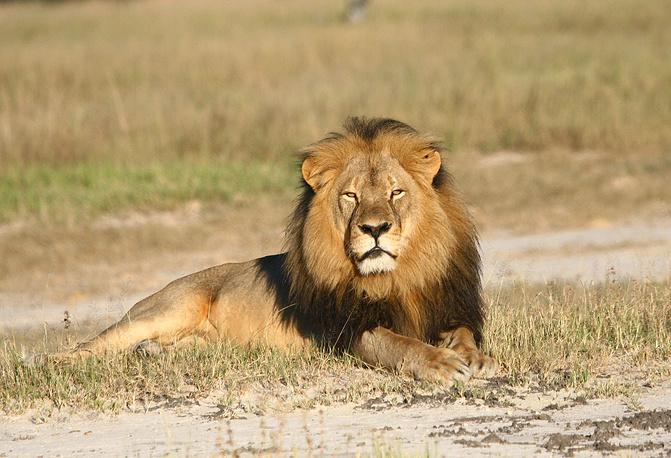 Лев по кличке Сесил