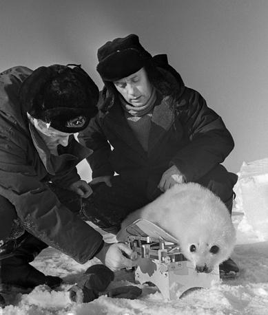 """Полярная экспедиция """"Торос-1"""".  На фото: участники полярной экспедиции """"Торос-1"""" взвешивают тюленя, 1966 год"""