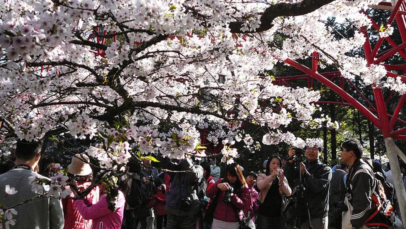 Иностранные туристы у цветущих деревьев