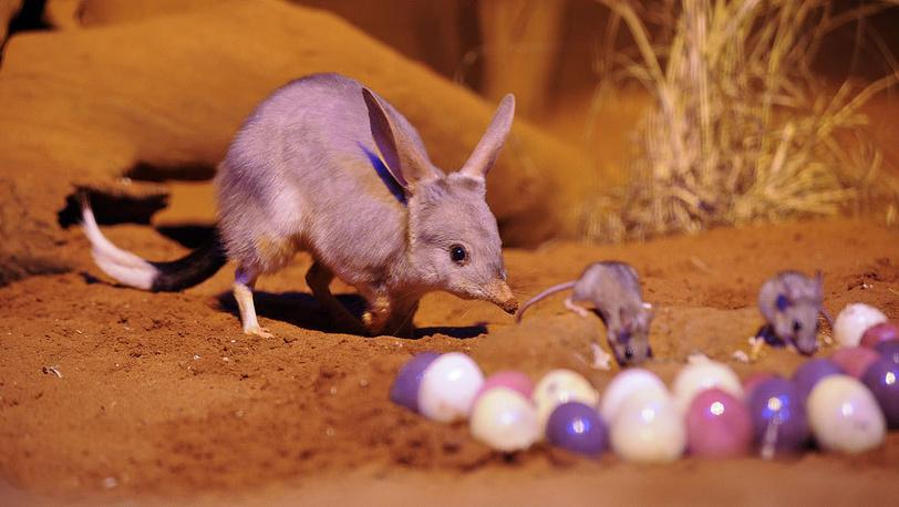 Подготовка к Пасхе в зоопарке Сиднея