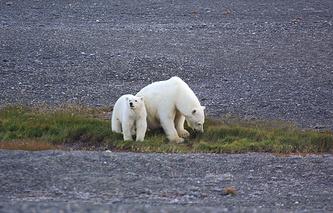 Polar bears seen on Wrangel Island