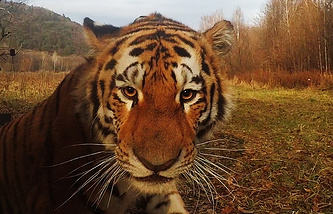 An Amur tiger