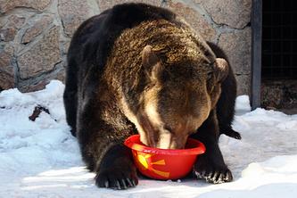 Медведица Бусинка предсказала теплую зиму