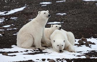 Белые медведи, остров Земля Александры, Земля Франца-Иосифа