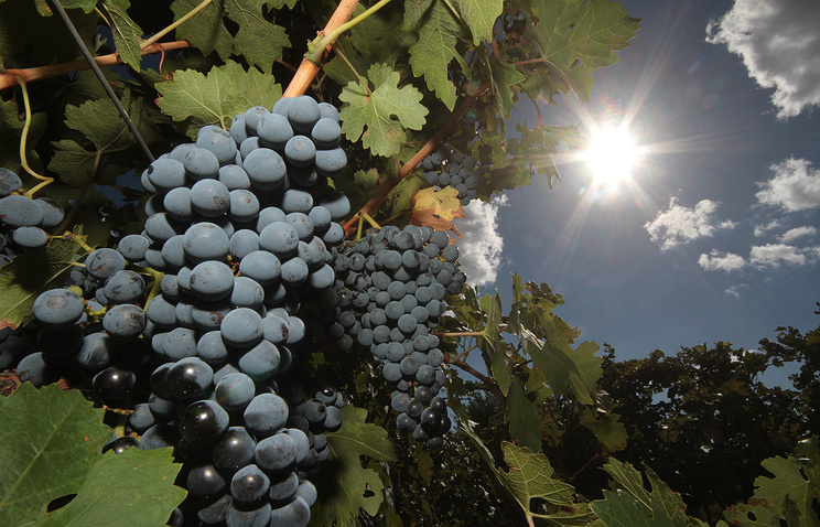 Crimean merlot grapes