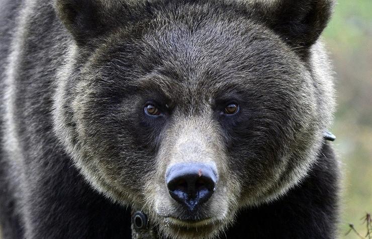 Bear (archive)