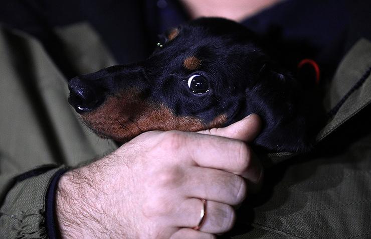 Nikolas, a dachshund who took part in a liquid breathing experiment