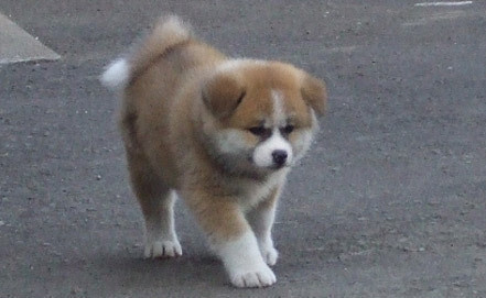 Puppy, selected as a gift to Putin. Photos of Japanese Akita Prefecture