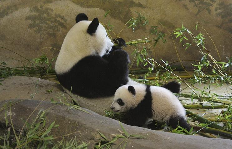 Панда с детенышем в зоопарке Мадрида
