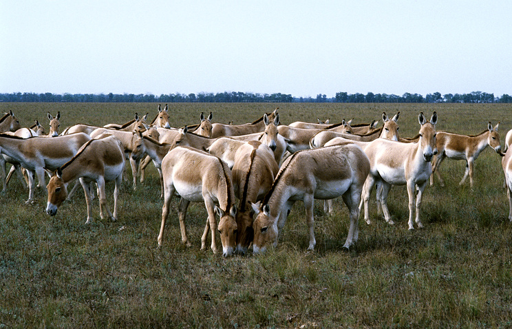 Лошади Пржевальского в заповеднике Аскания-Нова. 1979 год