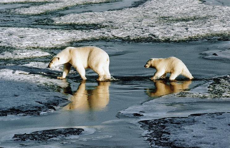 Арктика. Белые медведи вблизи островов Земли Франца-Иосифа