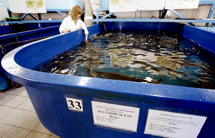 Получение икры у осетровых рыб