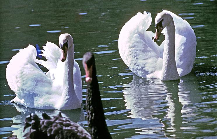 Лебеди шипуны