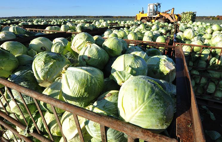 Уборка урожая капусты на фермерском хозяйстве