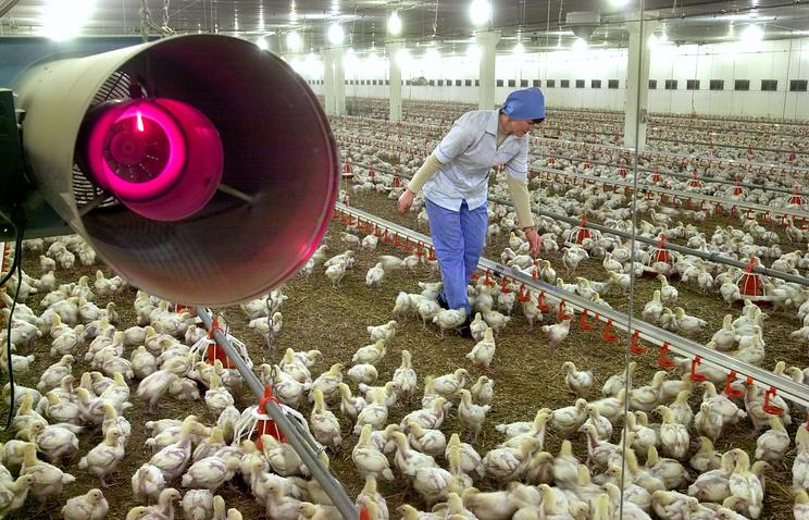 Предприятие с замкнутым циклом производства куриного мяса