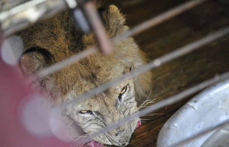 Лев в реабилитационном центре в поселке Алексеевка, куда отвезли зверей из затопленного зоопарка в Уссурийске