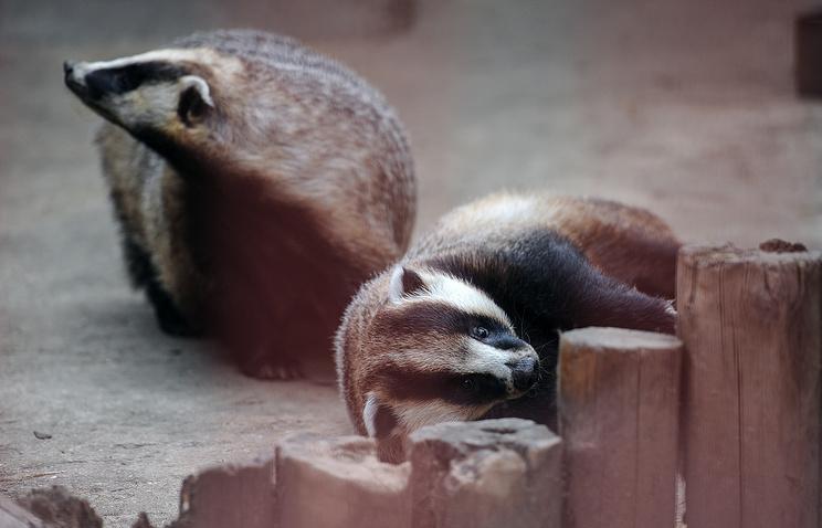 Барсуки в Екатеринбургском зоопарке