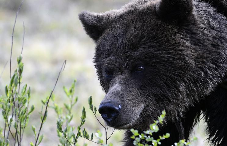ВПриамурье медведь напал нарабочего, красившего ограждения надороге