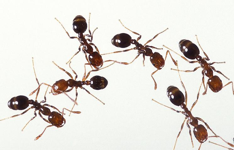 Вяпонском порту отыскали смертельно рискованных муравьев изЮжной Америки