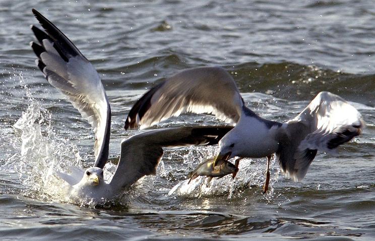 Чайки над озером, где разведены ценные породы сиговых рыб