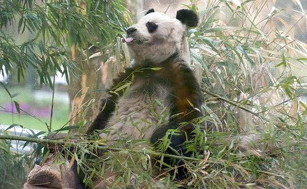 Панда Бао-Бао. Фото EPA/ИТАР-ТАСС