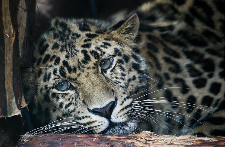 Дальневосточный леопард по кличке Николай