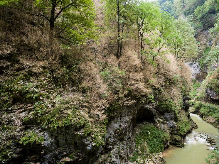 Самшиты в Гуамском ущелье