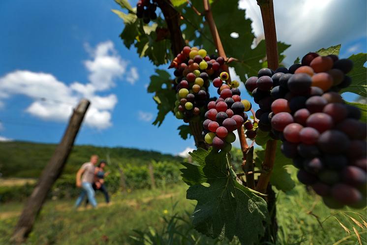 Виноградники в окрестностях Севастополя